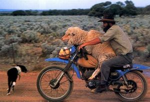 Father Knapp Rescuing Sheep